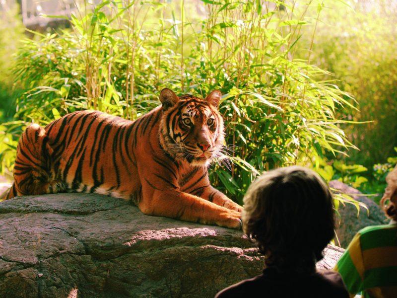 tijger diergaarde blijdorp